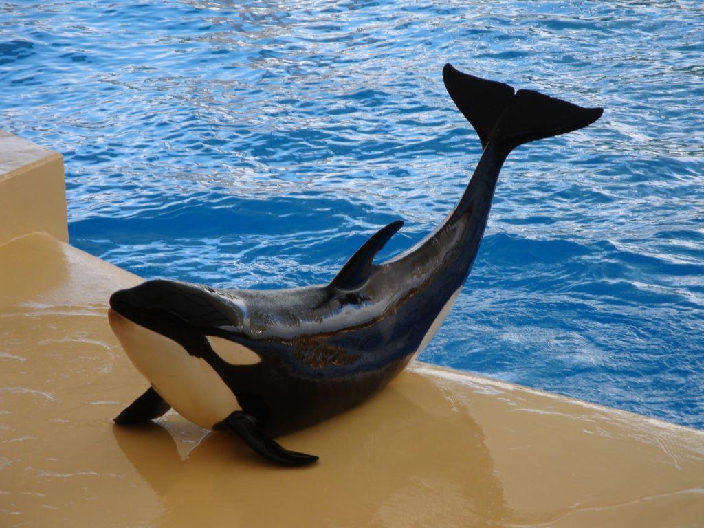 Bild Quot Orca Wal Show Im Oro Parque Quot Zu Loro Parque In
