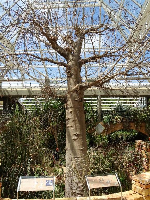 bild baobab baum zu botanischer garten kirstenbosch in kapstadt. Black Bedroom Furniture Sets. Home Design Ideas
