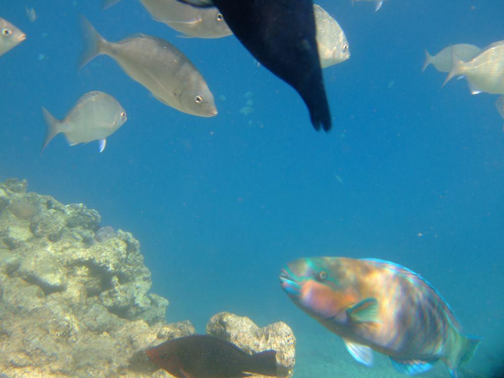 Hausriff Hotel Bel Air Azur Resort Bilder Fische Tauchen Hurghada