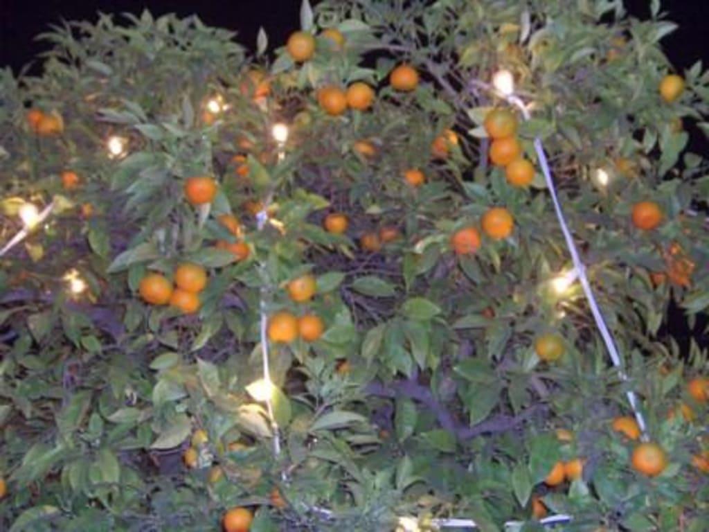 bild weihnachten orangen am pl de los naranjos zu. Black Bedroom Furniture Sets. Home Design Ideas