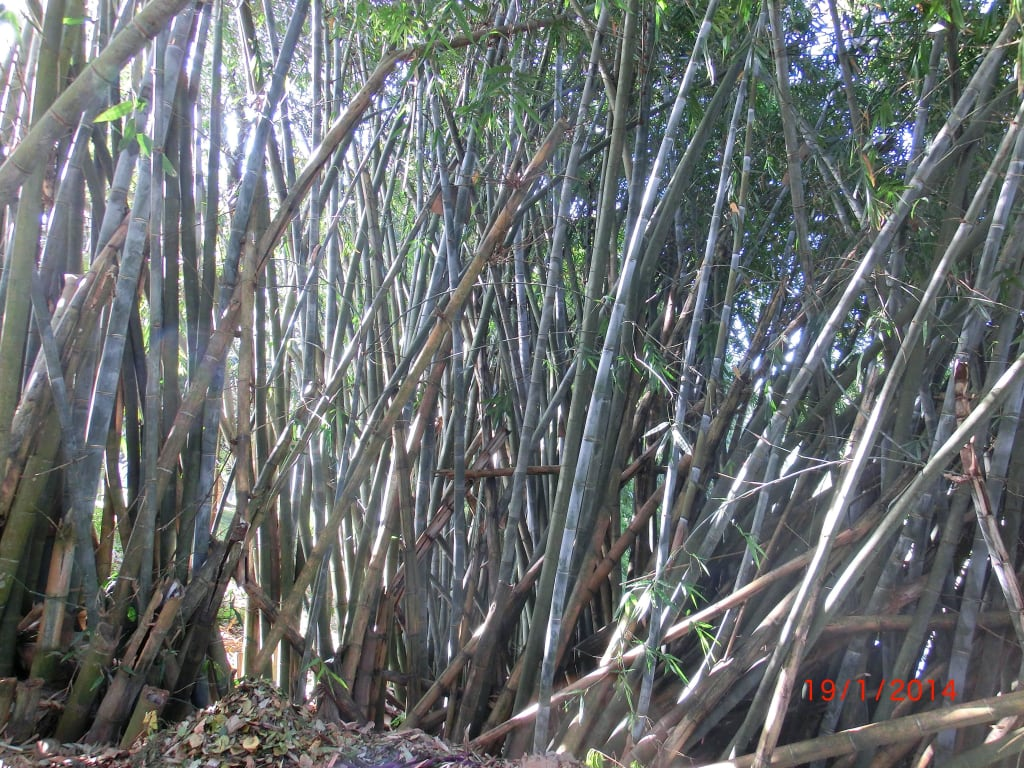 """Bild """"Schnell wachsender Bambus er wächst am Tag 30cm"""" zu"""