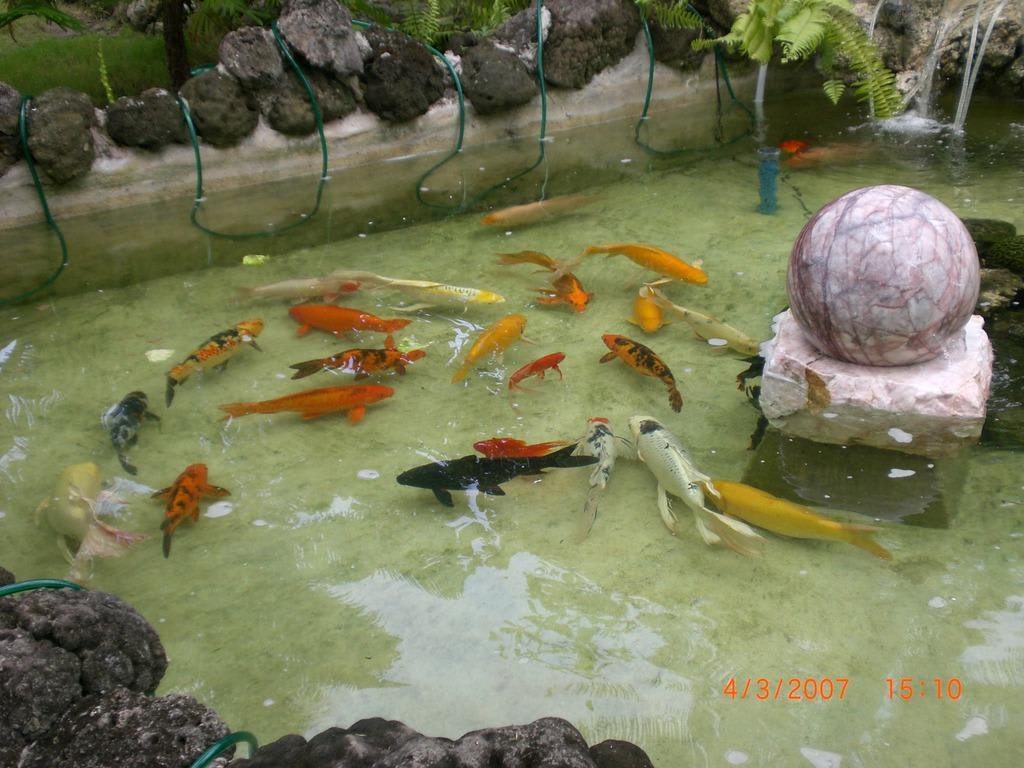 Bild teich mit kois und einem wasserfall zu velidhu for Kois und goldfische in einem teich