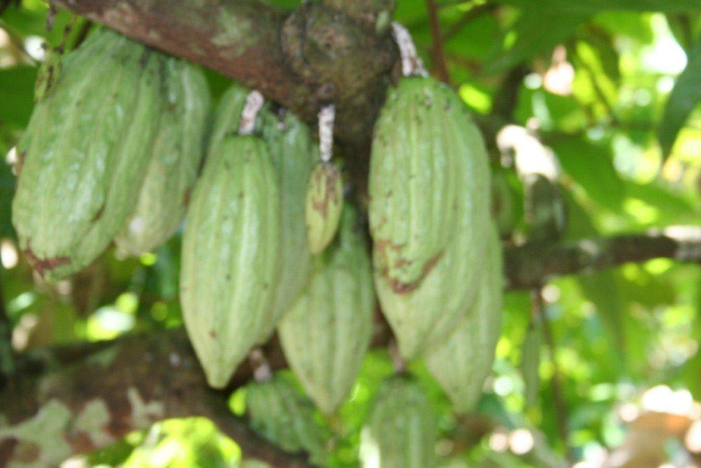Kakaopflanzen Bilder Sonstiges Landschaftmotiv DSF Tour Bali - Ausflüge mit Augustinus