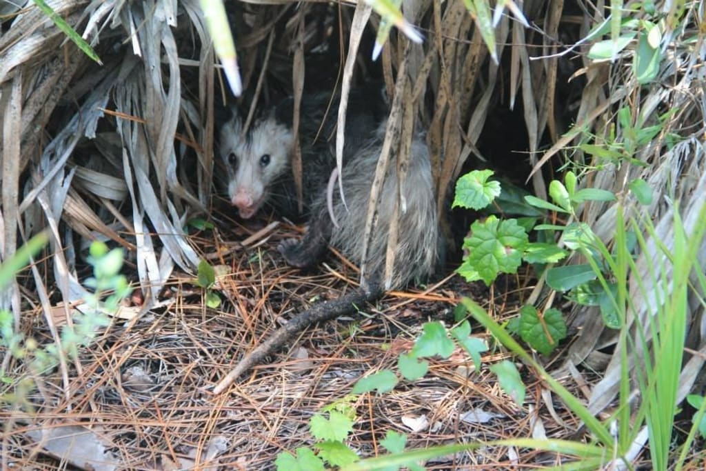 bild opossum