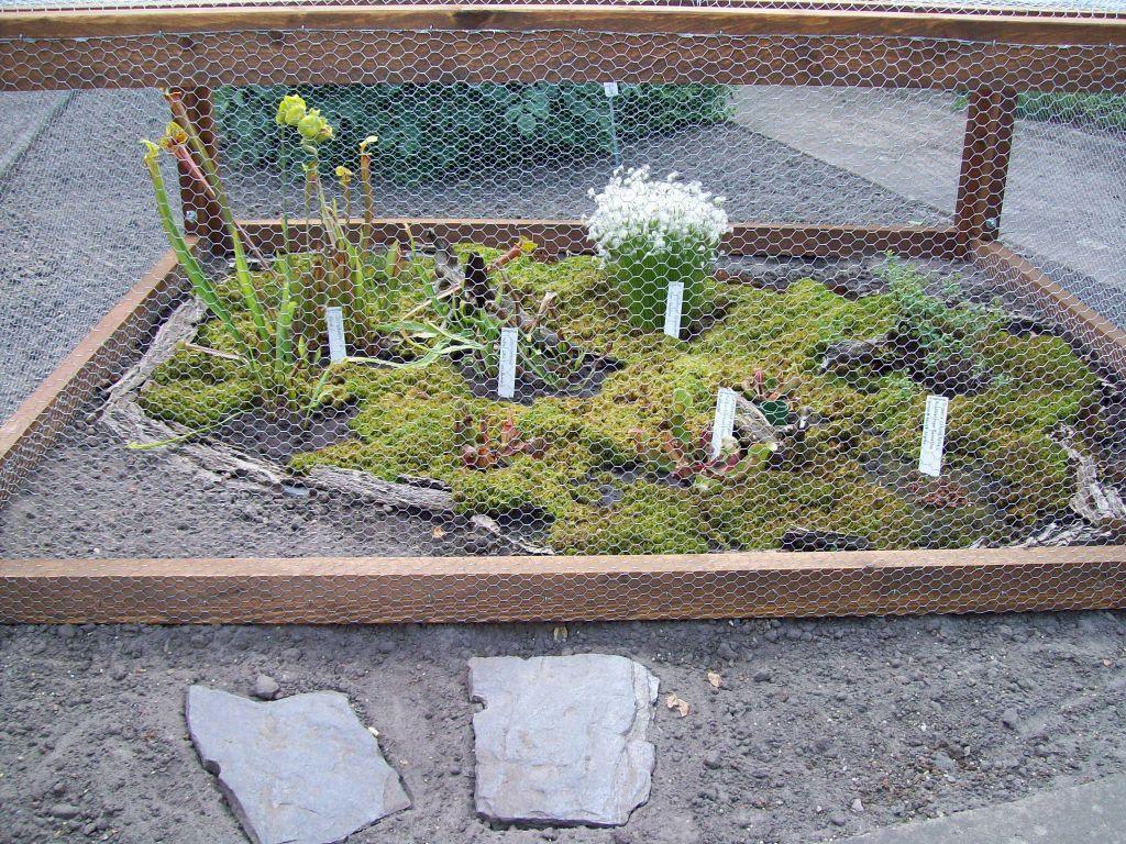 bild fleischfressende pflanzen im freiland zu. Black Bedroom Furniture Sets. Home Design Ideas