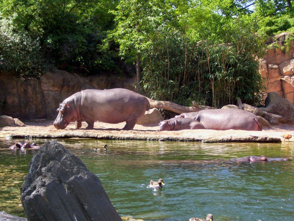 bild familie nilpferd zu erlebnis zoo hannover in hannover. Black Bedroom Furniture Sets. Home Design Ideas