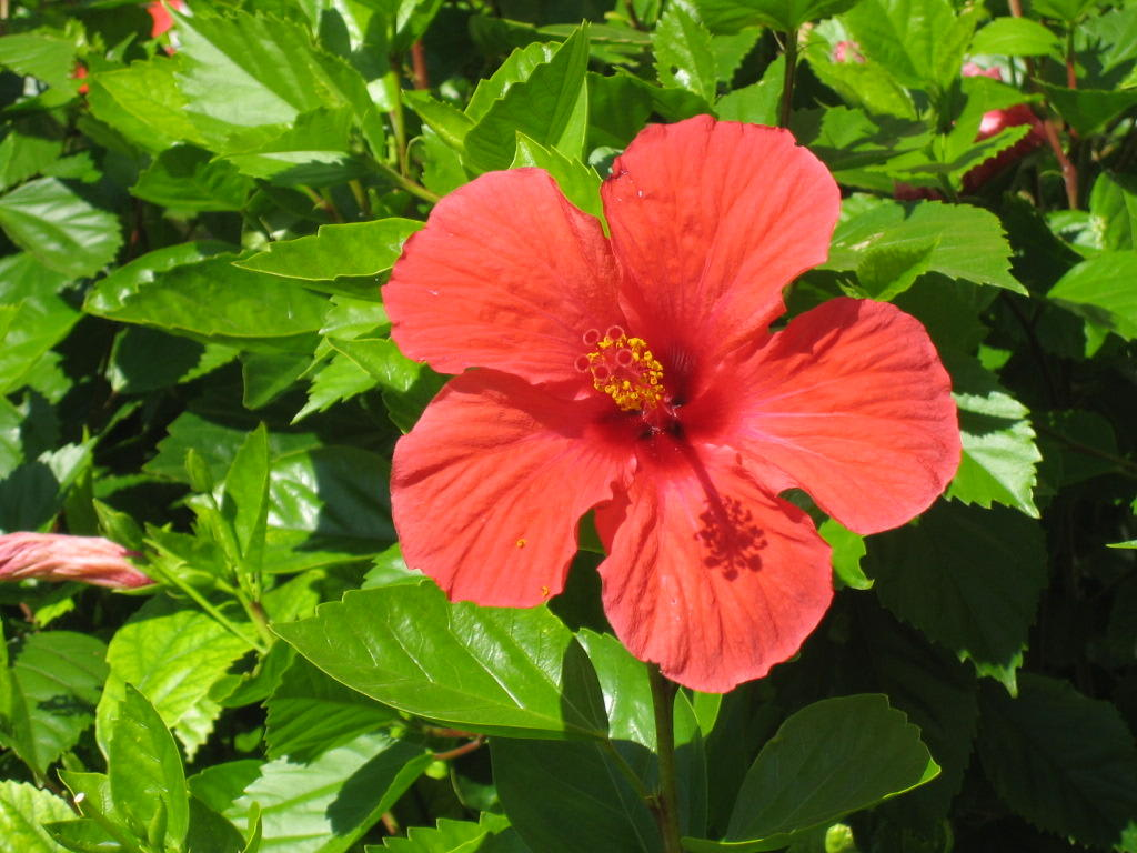 bild hibiskus b sche berall im garten zu hotel hipotels barrosa garden in novo sancti petri. Black Bedroom Furniture Sets. Home Design Ideas