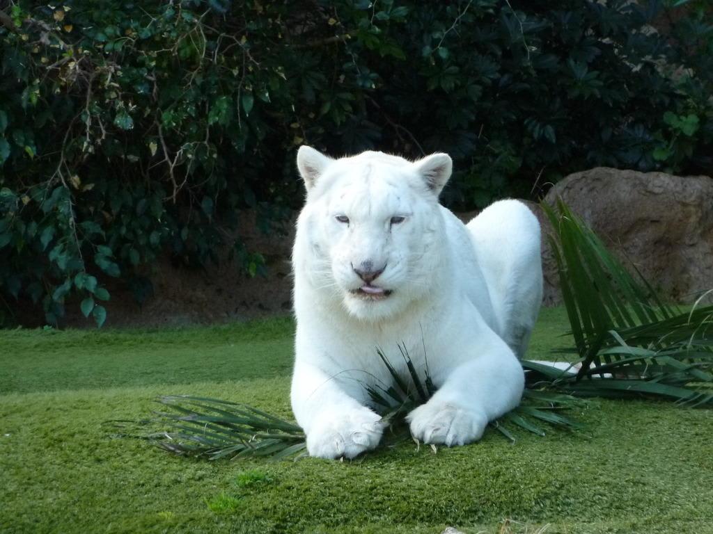 Bild Weißer Tiger Zu Loro Parque In Puerto De La Cruz