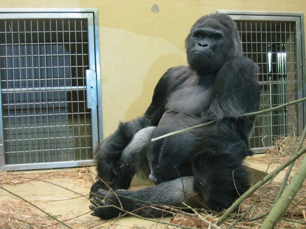 bild gorilla zu tiergarten n rnberg in n rnberg. Black Bedroom Furniture Sets. Home Design Ideas