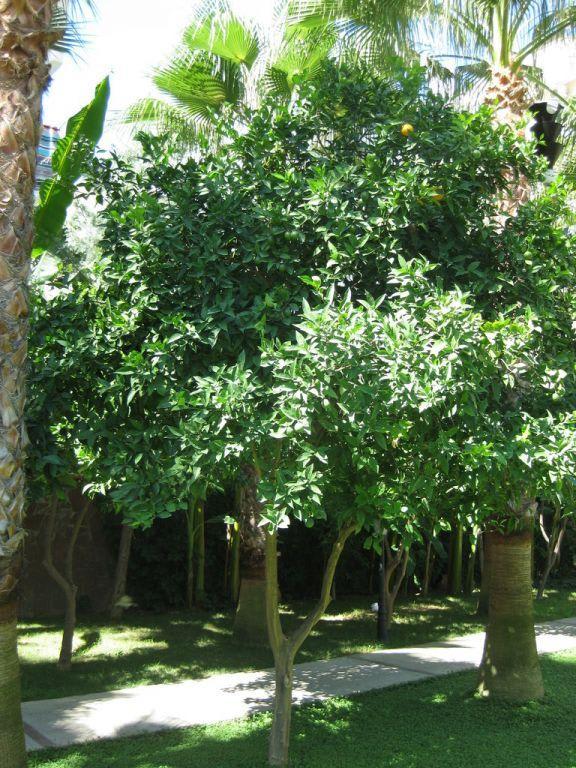 bild b ume im garten zu hotel elysee garden in alanya. Black Bedroom Furniture Sets. Home Design Ideas