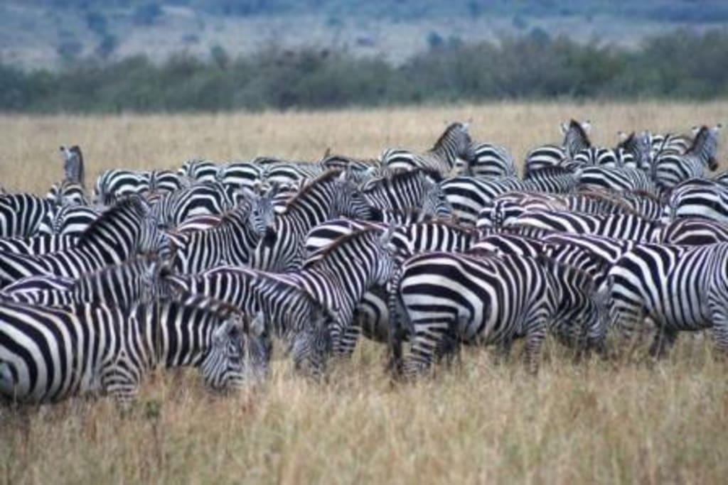 """Bild """"Herde Zebras"""" zu Masai Mara Safari in Masai Mara   {Herde 26}"""