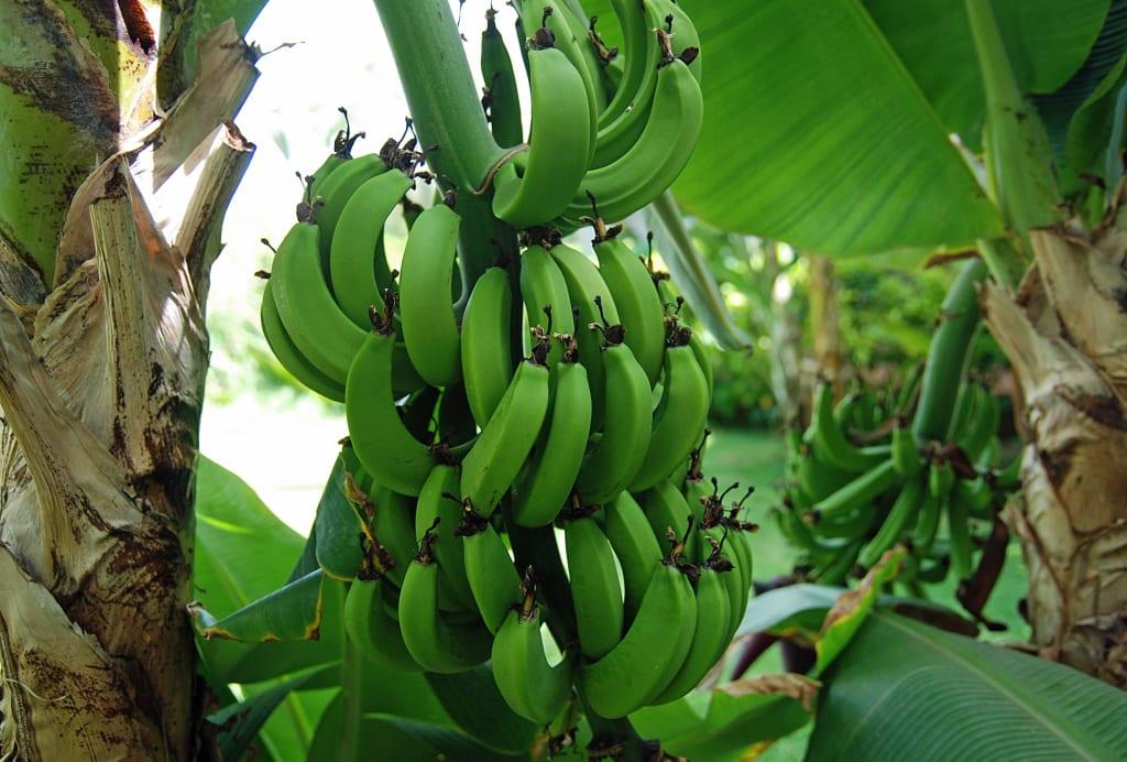 bild eine von vielen bananenstauden im garten zu clubhotel riu karamboa in sal rei. Black Bedroom Furniture Sets. Home Design Ideas