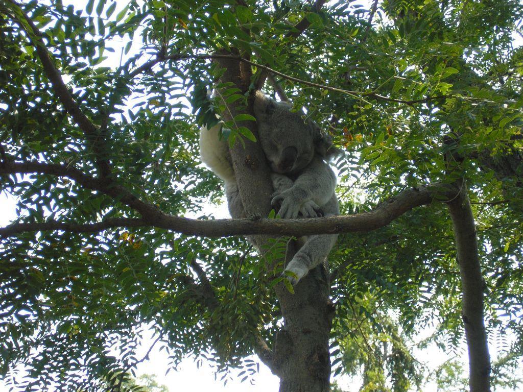 bild koalab r schlafend im baum zu columbus zoo und aquarium in columbus. Black Bedroom Furniture Sets. Home Design Ideas