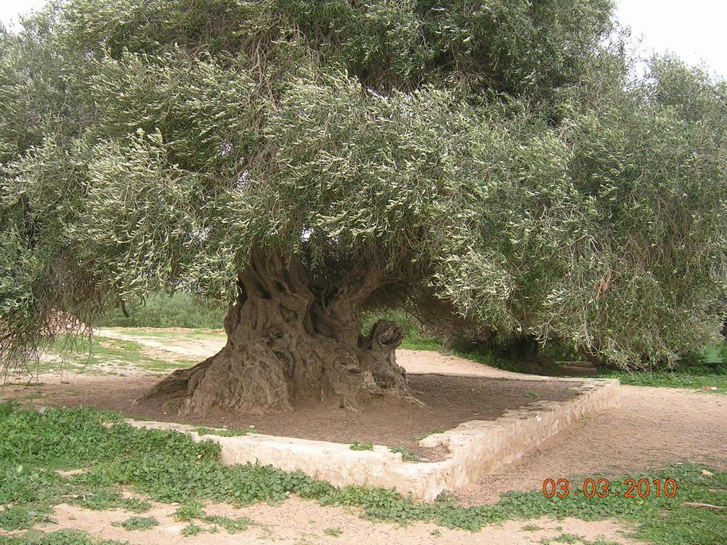 bild der ltste olivenbaum in tunesien zu kloster der. Black Bedroom Furniture Sets. Home Design Ideas