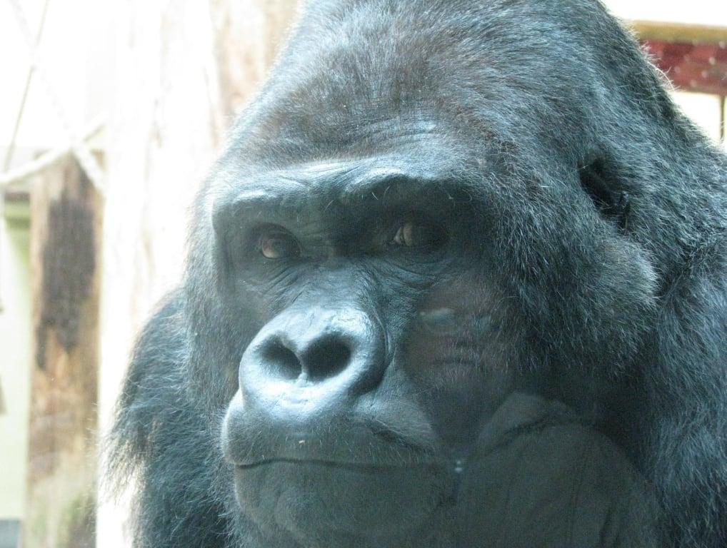 bild flachland gorilla silberr cken ivo zu zoologischer garten berlin in berlin mitte. Black Bedroom Furniture Sets. Home Design Ideas