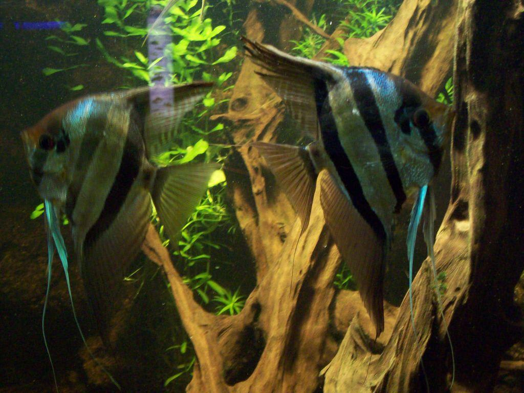 Bild skalare zu aquarium zoologischer garten in berlin for Skalar aquarium