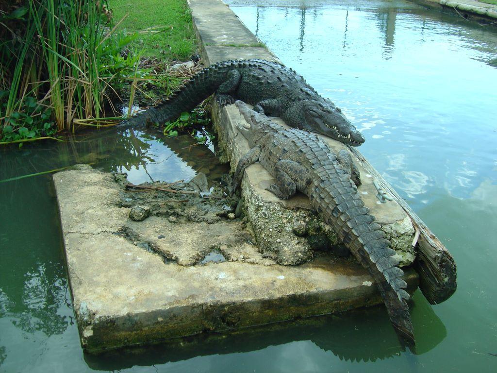 Nature reserve zoo picture of jamaica photo gerhard krokodile