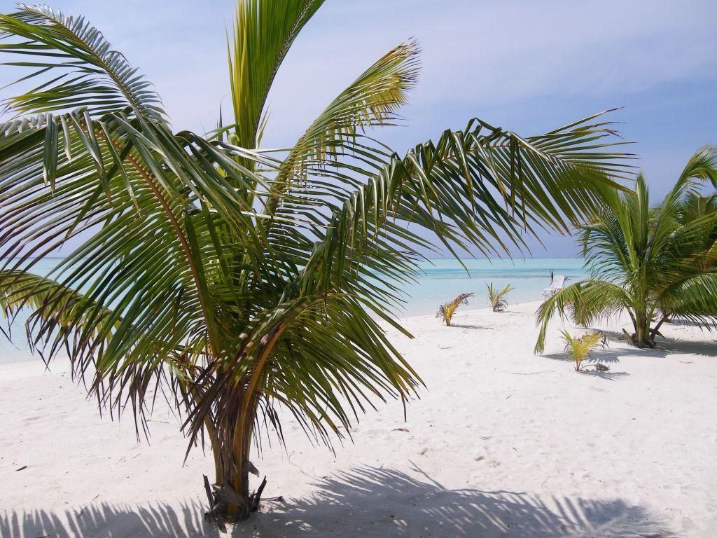 bild palmen zu strand s d mal atoll in hulhumal. Black Bedroom Furniture Sets. Home Design Ideas
