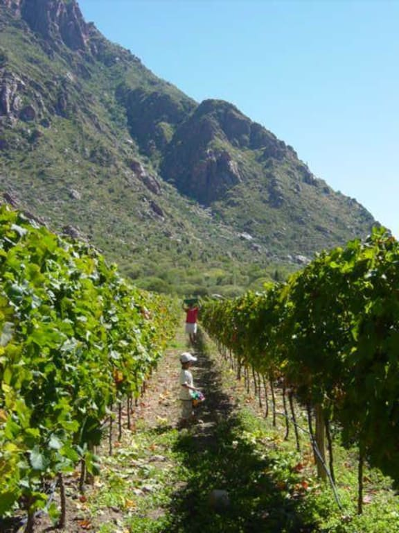 Wine harvest in cafayate