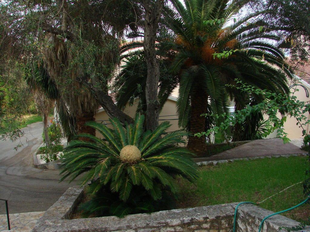 bild farne palmen und oliven im garten zu sun apartments in acharavi. Black Bedroom Furniture Sets. Home Design Ideas