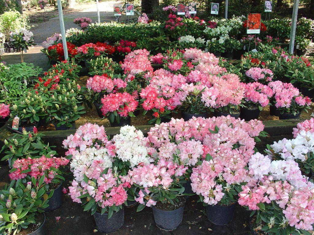 bild verkaufsbereich zu rhododendron g rtnerei gr ngr bchen in sachsen. Black Bedroom Furniture Sets. Home Design Ideas