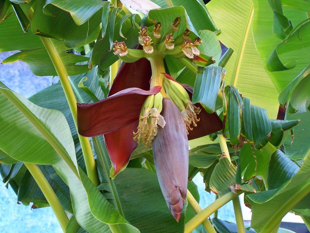 bild bananenpflanze zu iberostar hotel paraiso beach in. Black Bedroom Furniture Sets. Home Design Ideas
