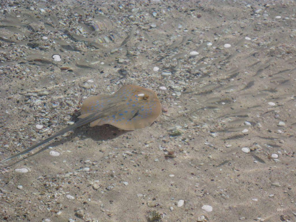 Bild rochen und kleine fische zu schnorcheln coraya bay for Kleine fische