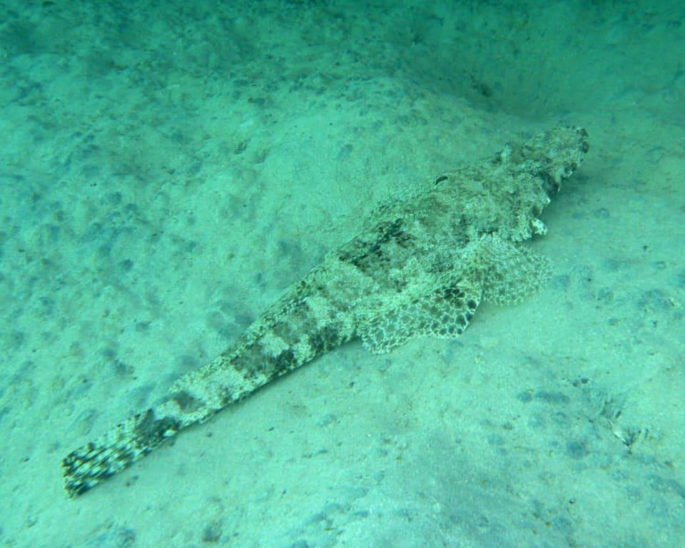 Bild Teppich Krokodilfisch zu Schnorcheln Brayka Bay