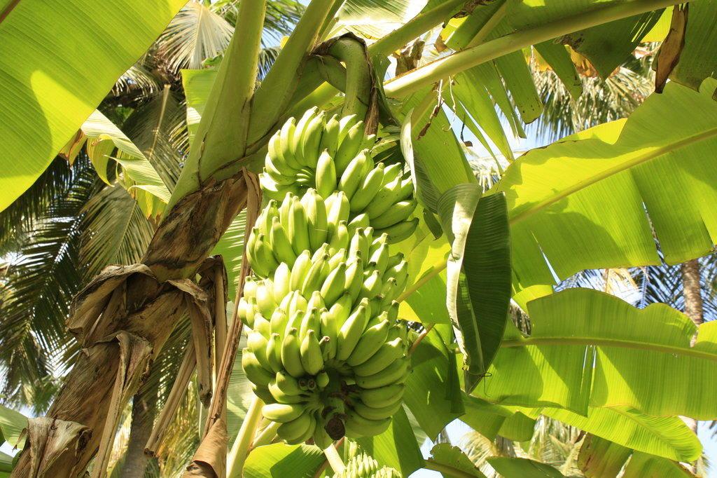bild bananenbaum zu hotel kuramathi island resort in rasdhoo. Black Bedroom Furniture Sets. Home Design Ideas