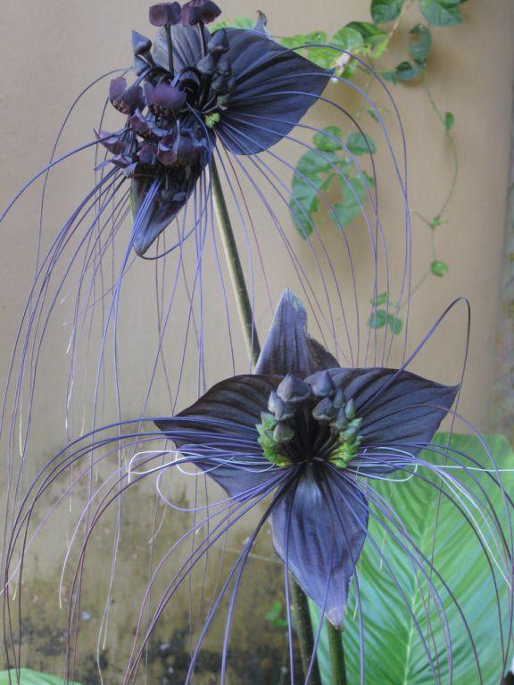 bild schwarze lilie zu botanischer garten peradeniya in. Black Bedroom Furniture Sets. Home Design Ideas
