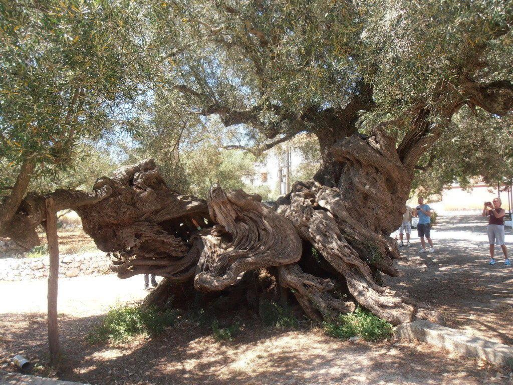 bild der lteste u ber hmteste baum der insel zu ltester olivenbaum in agios leon. Black Bedroom Furniture Sets. Home Design Ideas