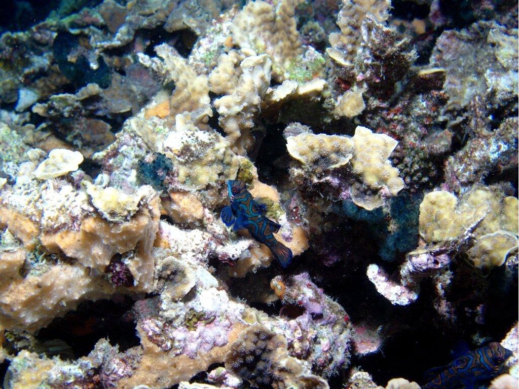 Bild Quot Mandarinfisch Quot Zu Sea Explorers In Dauin
