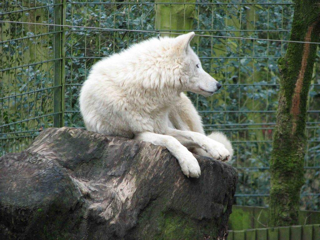 bild wolf zu zoologischer garten wuppertal in wuppertal. Black Bedroom Furniture Sets. Home Design Ideas