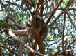 Patient des Koala-Hospitals
