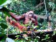 Orangutas