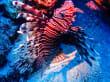 Rotfeuerfische sind häufig