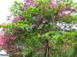 Ficus und Bougainvillea