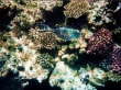 Sohaldoktor im Roten Meer