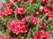 Roter Teide-Natternkopf
