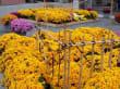 Chrysanthemen Show