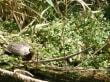 Schilödkröte