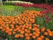 Überall Tulpen