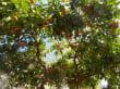 Orangenbäume, das Wahrzeichen von Soller