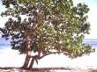Baum am Playa Grande