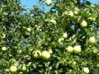 Durch die Apfelplantagen