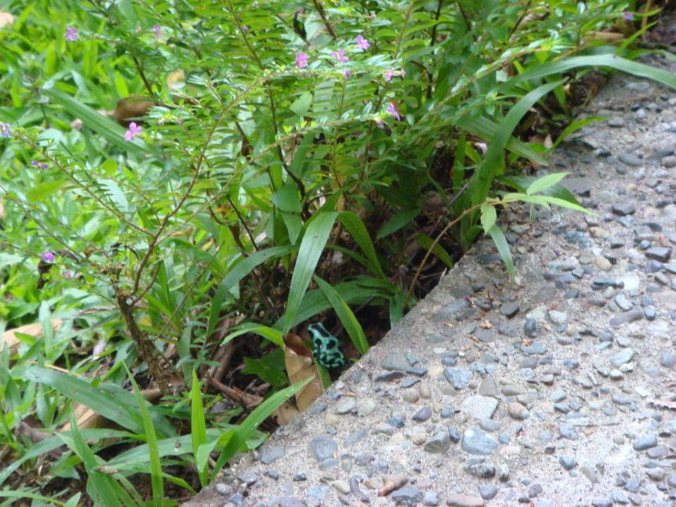 Frosch in der Hotelanlage Cariblue Beach and Jungle Resort