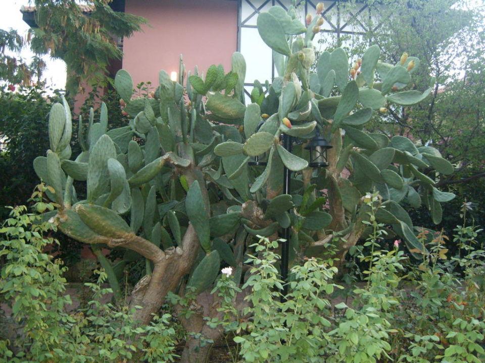 Kakteen in der Gartenanlage Hotel Club Dizalya