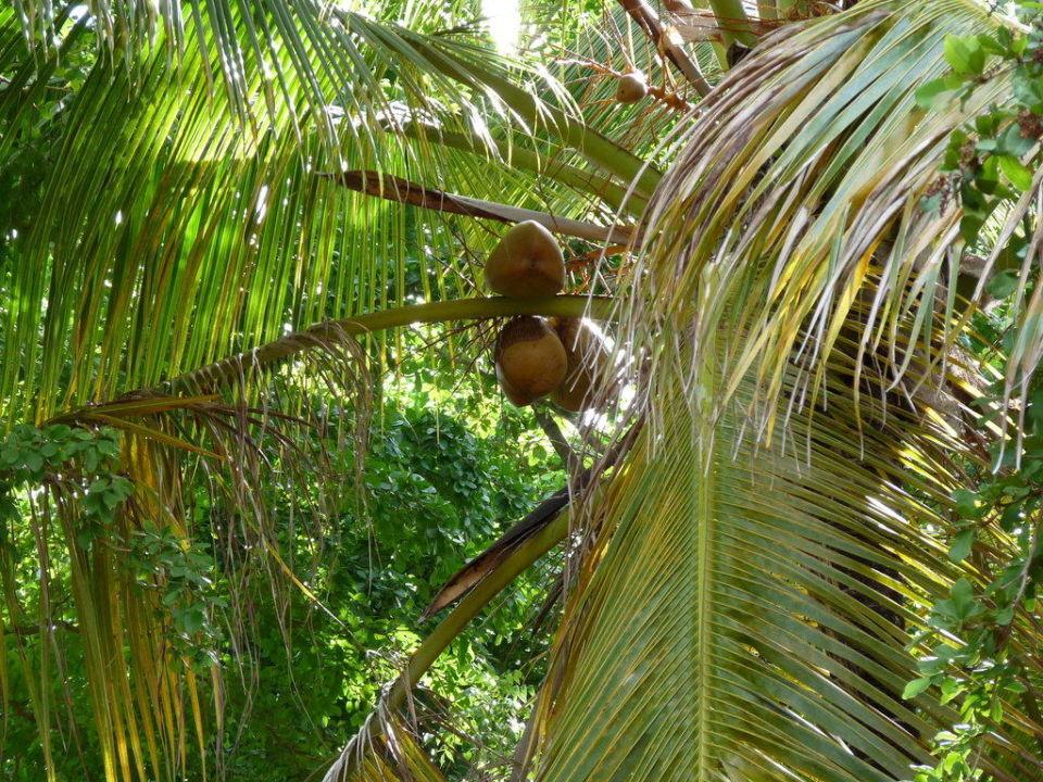 Kokosnüsse vor unserem Bungalow Hotel Grand Paradise Samana