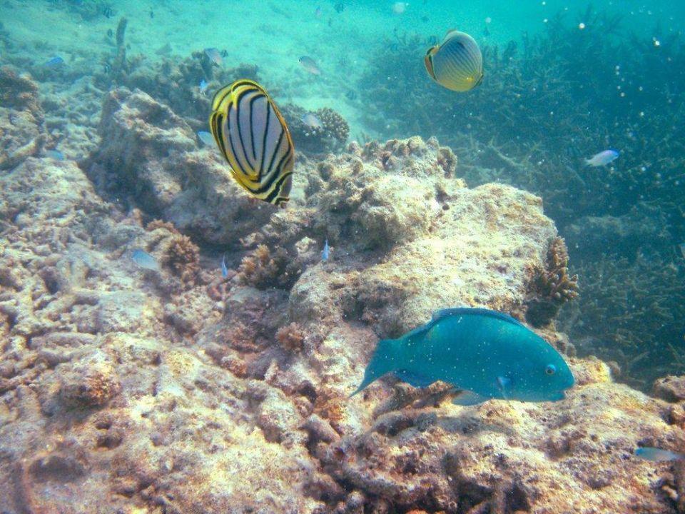 Fische am Hausriff Cinnamon Dhonveli Maldives
