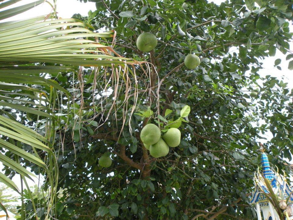 Irgend eine Frucht in der Hotelanlage Pinnacle Grand Jomtien Resort